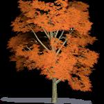 érable pycnanthum