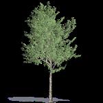 bluegum eucalyptus
