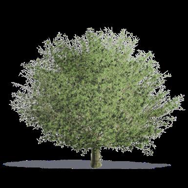 chêne à feuilles de châtaignier