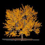 frêne doré
