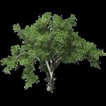 holland elm