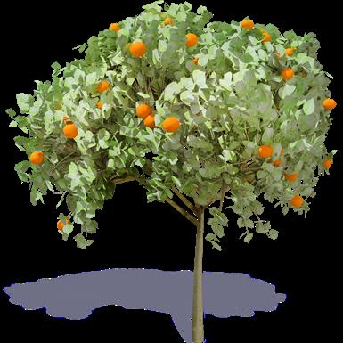 Orangenbaum 1