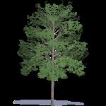 acacia à bois dur