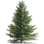 white fir concolor fir