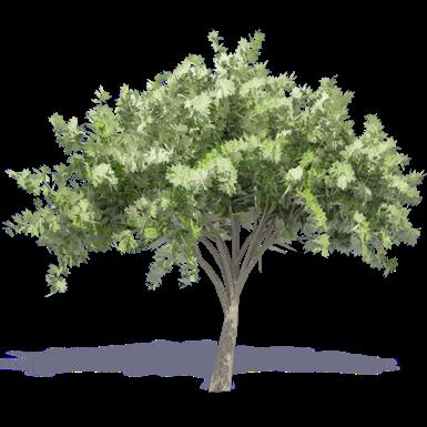 Elm Baum 2