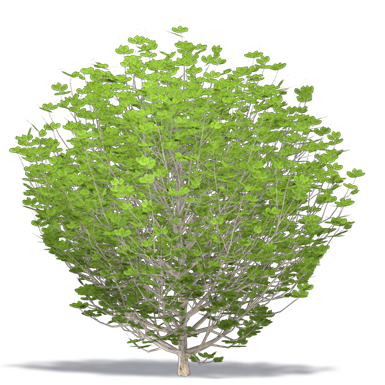 common cherry laurel english laurel