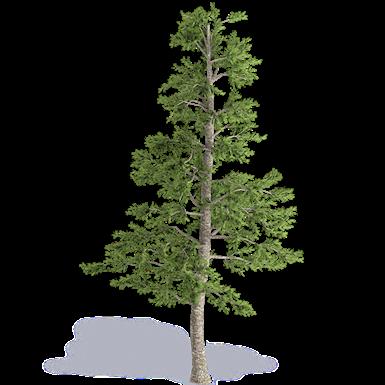 greek fir