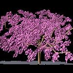 cherry plum myrobalan plum