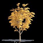 chêne du japon à feuilles de châtaignier
