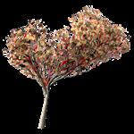 flamboyant tree