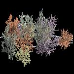 kaffir coral tree coral tree