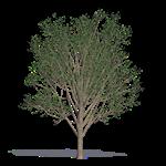 ginkgo maidenhair tree